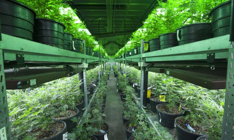Étude De Faisabilité De Culture De Cannabis