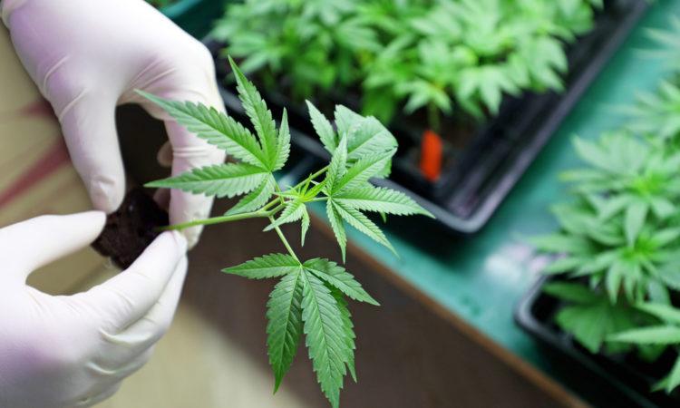 Solution Clé En Main Pépinière De Cannabis